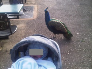 Peacock disturbed by baby crying