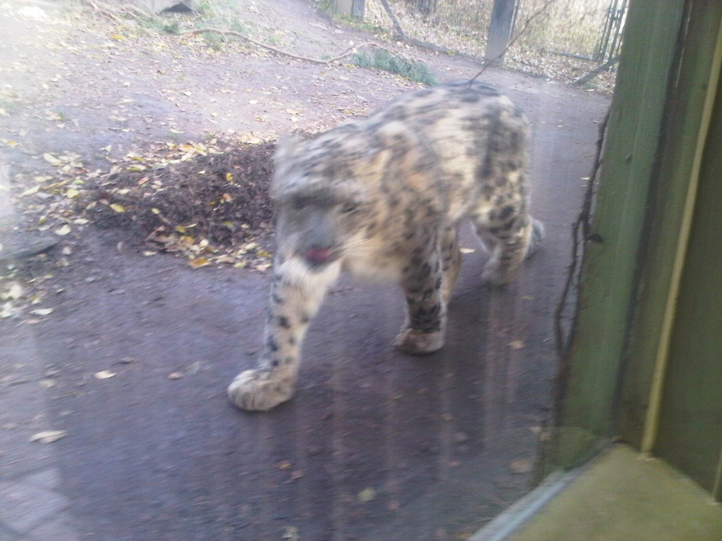 Snow Leopard paces in its cage.